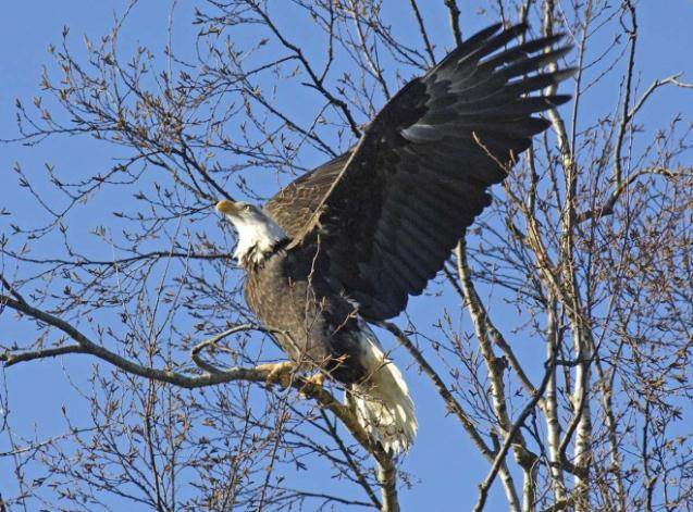 Eagle with Wings Spread in Tree