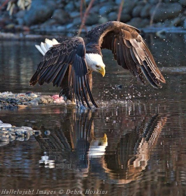 Winning Eagle Photo from 2017 by Debra Hoskins
